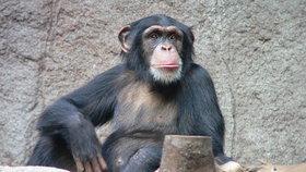 Šimpanzi mají čistější lože než lidé. Není tam ani tolik hmyzu, odhalil výzkum