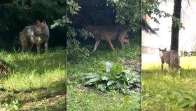 Vlk u slovenských hranic pokousal dvě děti. Už dříve napadl ženu ve vsi