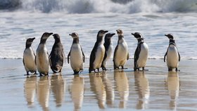 Kuriozita brexitu: Ohrozí životy milionu tučňáků, nedostanou dotace z EU