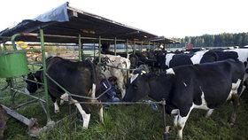 Ochránci propustili krávy z biofarmy. Čtyři dojnice se obratem přežraly k smrti