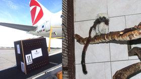 Z Prahy odletěla opičí parádnice Myška. Bude těšit návštěvníky petrohradské zoo