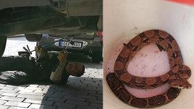 VIDEO: Strážníci vyšťourali hroznýše. Do osobního automobilu se schoval skoro dvoumetrový had