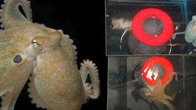 Vědci dali chobotnicím extázi. Začaly se objímat a chovat jako lidi