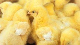 """Konec kohoutí """"genocidy"""". Samčí kuřata našla zastání u vlády, zakázala jejich vybíjení"""