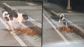 Srdcervoucí video: Zatoulaný psík se snažil probudit sraženého parťáka