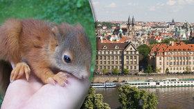 Veverkám se v Praze daří, číhá na ně ale nebezpečí. Jak se pozná, kdy je jim opravdu zle?