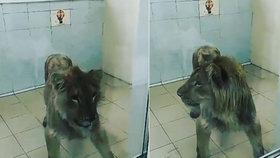 Milionář vyhladověl k smrti mladého lva. Dával mu jen psí krmivo!