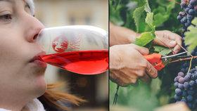 Vinaři: Svatomartinské víno už čeká! Jaké letos bude? V prodeji je  víc než 2 miliony lahví