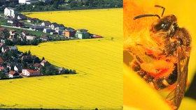 Za smrt milionů včel může řepka! V Šenově zemědělec postříkal v noci pole pesticidem