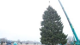Tenhle smrk bude zdobit Staroměstské náměstí o Vánocích: Pokáceli ho v Rynolticích na Liberecku