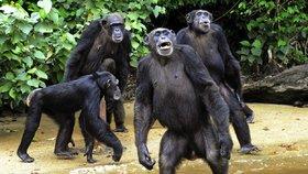 Skutečná Planeta opic: Monstrózní šimpanzi z laboratoří žijí na opuštěném ostrově