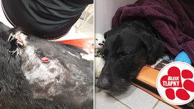 Otřesný případ týrání! Pejska ošklivě pořezali na krku, skončil na veterinární klinice
