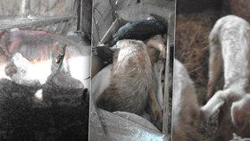 Hrůza v Podkrkonoší: Chovatelka trápila zvířata hlady, i když pro ně žrádlo měla