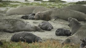 Lachtani okupují populární pláž. Využili chaosu ve vládě, lidé zírají