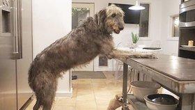 Toužíte po velkém pejskovi? Tak pozor, takhle to vypadá u páníčků vlkodavů!