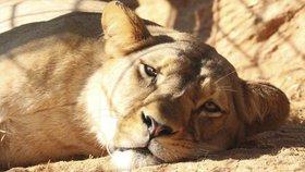 Smutek v plzeňské zoo: Lvice Neyla zemřela po porodu! I se 3 mláďaty