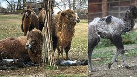 Unikátní zážitek v Brně: Majda porodila velblouďátko před zraky návštěvníků zoo