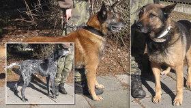Armáda se zbavuje psů, kteří věrně sloužili vlasti: Pořídit si je můžete za pár stovek