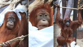Orangutani v pražské zoo si uspořádali prostěradlovou párty:  Baf, jsem bubák!