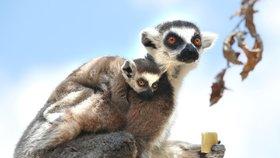 """""""Mohou dostat covid stejně snadno jako lidé."""" Zoo Praha zavírá expozici lemurů a Indonéskou džungli"""