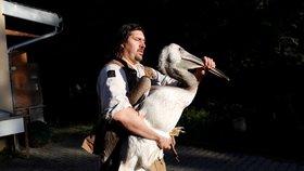 Pražští pelikáni vyrazili na cestu ke královně Alžbětě II.: Budou zdobit londýnský park