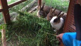Na trávě z Prahy 12 si pochutnávají kozy z Hodkoviček. Úřad hledá další chovatele