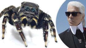 Vědci pojmenovali nový druh pavouka po Karlu Lagerfeldovi: Je mu prý podobný