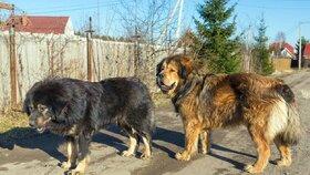 Tibetské dogy na Kroměřížsku potrhaly seniory: Policisté jednu zastřelili
