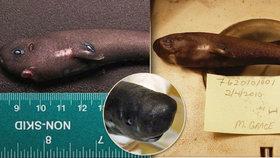 Vědci objevili nový druh miniaturního žraloka. Svítí ve tmě
