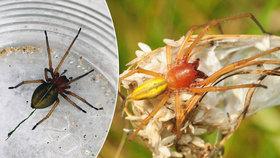 Silně jedovatý pavouk děsí Česko: Rozšíření sahá až ke Krušným horám