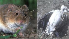 Sypat jed proti hrabošům na holá pole je nebezpečné, varuje vědec