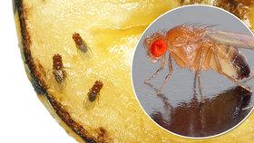 Otravné octomilky: Do ovoce v kuchyni kladou vajíčka! Jak se jich zbavit?