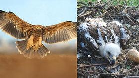 Skvělá zpráva: Ohrožená orlí rodina na jižní Moravě se letos rozrostla o šestici mláďat