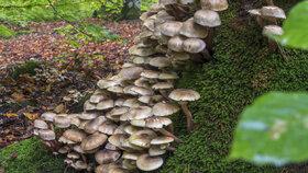 Podzimní houby na pařezech i v jehličí. Jak je bezpečně poznat a na co pozor?