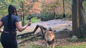 Návštěvnice zoo tančila mezi lvy. Nebezpečnou šelmu k sobě dokonce lákala