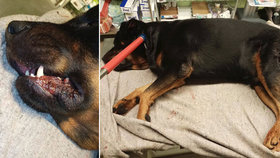 Oddaný pes bránil paničku před napadením: Muž ho ubodal!