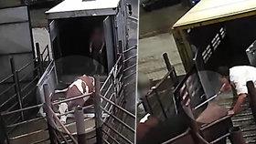 Skrytá kamera odhalila brutalitu na jatkách: Elektřina, kopání i posměšky zaměstnanců