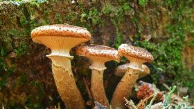 Václavky: Skvělé houby do guláše i octového nálevu, ale pozor na správnou úpravu