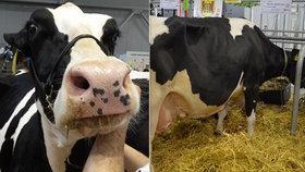 """""""Prdící"""" krávy klima neničí, tvrdí veterináři. A zmínili globální konflikt"""