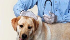 Očkování psů – která jsou povinná a která doporučená?