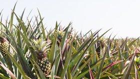 Ananas – jak se pěstuje toto tropické ovoce?