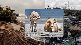 Tři krávy přežily hurikán a doplavaly do bezpečí. Majitel se těší na jejich návrat
