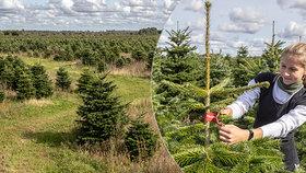 Stromečky pro české Vánoce se pěstují v Dánsku: Inspekce Blesku u pěstitelů jedlí!