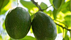 Avokádo – na čem roste a je to ovoce nebo zelenina?