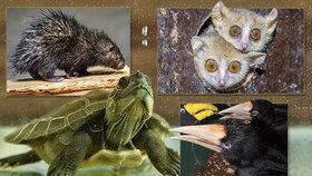 Mláďatům se v Zoo Praha daří: Narodili se okatí maki, nejmenší dikobraz, vylíhli se i růžoví holubi