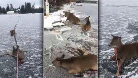 Záchrana rodiny jelenů dojímá svět. Bruslař ji vlastní silou vytáhl z ledu