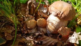 Atlas jedlých hub: Mykologové popisují nejoblíbenější české houby