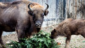 Bohatá vánoční nadílka v pražské zoo: Zvířata si pochutnávají na jedlých dárcích, dostala i stromečky