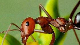 Začala invaze mravenců! Jak se jim bránit?