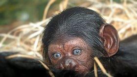 Radost v plzeňské zoo: Po 17 letech se tu narodilo mládě šimpanze! Pavilon je zavřený